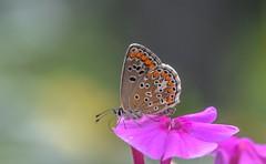 Lycaenidae (Torok_Bea) Tags: boglárka lycaenidae home garden colours sigma sigma105 macro beautiful papilion insecta lepke szépség nikon nikond7200 d7200 polyommatinae lepidoptera glossata buterfly
