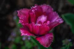 jagged little tulip (kderricotte) Tags: jaggedtulip tulip flower plant sonya7ii ilce7m2 sony canon100mm28macro macro bokeh