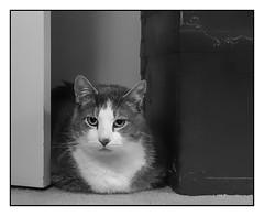 The Hideout (Timothy Valentine) Tags: catloaf 2018 blackandwhite silverefex cat happycaturday quinnomannion 0618 eastbridgewater massachusetts unitedstates us
