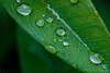 little drops (benno.dierauer) Tags: drops waterdrops tropfen canon70d macrounlimited macro makro leaf blatt