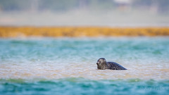 Billy no mates (Bondy Taylor) Tags: bokeh dof landscape outdoor scotland seal wildlife lowangle nature possing sandbar sea water waves wild