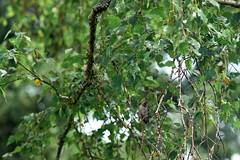 I Spy With My Hummingbird Eye (Obsidianphotog) Tags: birch tree hummingbird bird nature outdoors oregon