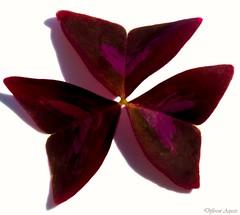Purple Shamrock leaf. MM - Line Symmetry. (Different Aspects) Tags: macromondays linesymmetry purpleshamrock leaf plant 7dwf monday anythinggoes