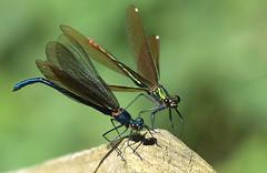 Couple (Nephentes Phinena ☮) Tags: beautifuldemoiselle blauflügelprachtlibelle nikond500 prachtlibelle sigma50500mmf463 wildparkeekholt