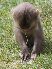 Snow monkey baby, Highland Wildlife Park, Kincraig, Highland, Scotland, UK (Ministry) Tags: snow monkey highland wildlife park kincraig scotland uk japanese macaque baby rzss zoo macaca fuscata grass
