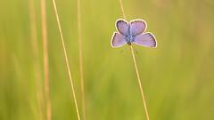 Feel the Summer! (Wim Boon Fotografie) Tags: wimboon heideblauwtje vlinder butterfly macro macrofotografie nederland netherlands natuur nature holland canoneos5dmarkiii canon100mmf28lismacro