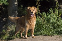New camera day (markconnell) Tags: goldenretriever golden goldie dog pet pets walkies
