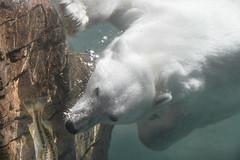 The Chase is On! (helenehoffman) Tags: arctic bear wildlife conservationstatusvulnerable sandiegozoo mammal fish ursusmaritimus ursidae tatqiq polarbear polarbearplunge marinemammal animal