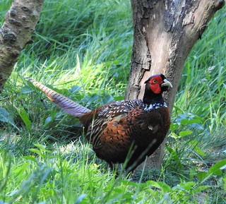 Pheasant Foraging at Thornley Woods Feeding Station