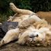 Male Lion (Panthera leo) sleeping upside down