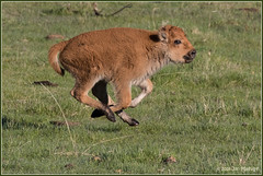 It's Not Over Till It's Over 3459 (maguire33@verizon.net) Tags: bison yellowstone yellowstonenationalpark calf reddog springtime wildlife wyoming unitedstates us