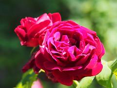 Frühling spring wiosna 2018 (arjuna_zbycho) Tags: wiosna frühling spring róża rose rosas roses róże rosu rosae flower kwiat blume makrofoto macrophoto rosarium rosengarten الورد austria badenbeiwien doblhoffpark biosphaerenparkwienerwald lovers gülsevenler gül trandafir trandafiri زهرة
