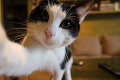 Cat Selfie (elinapoisa) Tags: cat kitten selfie