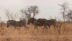 Follow the Leader  ( Zebra ) (Pixi2011) Tags: zebra krugernationalpark wildlife africa animals nature ngc npc