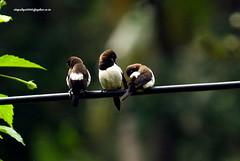 IMG_6224 White-rumped Munia (Lonchura striata) (vlupadya) Tags: greatnature animal aves fauna indianbirds whiterumped munia lonchura kundapura karnataka