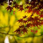 Maple Leaves thumbnail