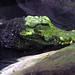Minnesotta Zoo 12-20-2014 - West African Dwarf Crocodile 2