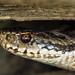 Lurking in the shadows... (SteveYoung839) Tags: snake adder femaleadder viperabera reptile closeup olympus omd em1mk1 panasonic leica 100400 steveyoung