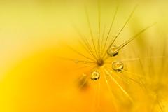 Daisylion (ecstaticist - evanleeson.com) Tags: drop droplet daisy flower macro nature 1000drops 1000dropsoflight