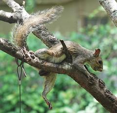 Failed Landing (ironicdream) Tags: squirrel cute fauna