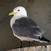 Black-legged Kittiwake (breeding plumage)