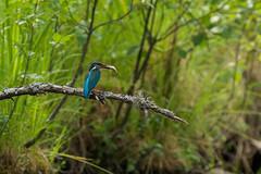 KAPP0013 (ottmaasikas) Tags: jäälind alcedoatthis kingfisher