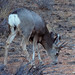 Bryce Canyon - White Hind