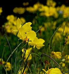 Blowing in the Wind (iseedre) Tags: yellow poppies foilage garden