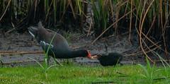 Common Gallinule (AnthonyVanSchoor) Tags: anthonyvanschoor maryland usa blackwaternationalwildliferefuge common gallinule distant