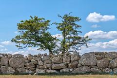 Fernworthy - Dartmoor (pm69photography.uk) Tags: devon dartmoor southwest sony sonya7r3 sonya7riii sony70200mmf4 trees tree stonewall aurorahdr2018 atmospheric atmosphere a7r3 ilovedevon ilce7rm3 fernworthy fernworthyforest