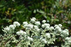 Teucrium polium L. subsp. dunense Sennen (esta_ahi) Tags: deltadelllobregat gavà lesmalloles flora costera dunas teucrium polium dunense baixllobregat barcelona spain españa испания costa marítima arenalescosteros