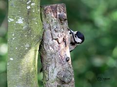 Woodpecker (Low Barns) (simon.williams28) Tags: nature north east birds twitcher twitchers northumberlandwildlifetrust durhamwildlifetrust wildlife naturereserve lowbarnsnaturereserve gosforthparknaturereserve