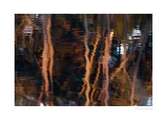 Reflet (II) (Photographies de vie sauvage) Tags: nature environment environnement landscape paysage woods bois earth earthfocus water eau trees arbres pines pins pinus wild wildlife wilderness wildlifephotographer reflet reflection sunset coucher soleil forest forêt france europe explore outdoor outdoors outside adventure aventure life vie lac lake étang pond