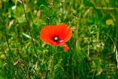 Poppy (Jurek.P) Tags: poppies mak poppy flower kwiat łąka meadow summer flowers jurekp sonya77