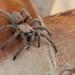 Black Tarantula (Chaetopelma olivaceum) (BJSmit) Tags: policrysochous paphos cyprus spider tarantula