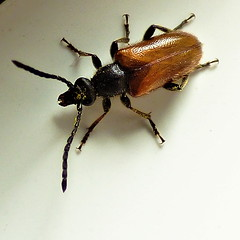 Are you one of the Darkling beetles? [Lagria Hirta]? (Les Fisher) Tags: weevil bug insect idplease