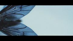Dark Angel (Samuel Portilla) Tags: insecto insect wings black negro alas macro macrofotografía macrophotography close up teal cinematography cinematografía cinematic cinematico canon reversed lens noise grainy grano grain minimalismo minimalism 2351