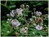 Life (prima seadiva) Tags: blackberry blooming unionbaynaturalarea mementomori