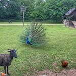 Blauwe Pauw, Kinderboerderij De Schouw, Zutphen, Netherlands - 1369 thumbnail