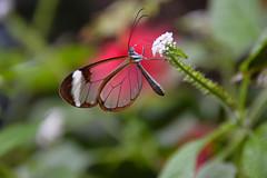 Glasswing Butterfly (Greta oto) (Seventh Heaven Photography) Tags: glasswing butterfly gretaoto greta oto danainae insect nikond3200 chester zoo cheshire wildlife flower closeup bokeh