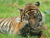 sumatran tiger Jarum Burgerszoo JN6A5766 (j.a.kok) Tags: tiger sumatraansetijger sumatrantiger sumatra asia azie pantheratigrissumatrae jarum cat kat animal burgerszoo mammal zoogdier dier predator