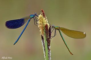 Calopteryx splendens (male and female)