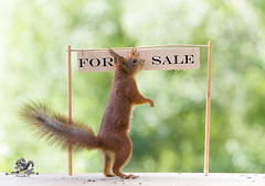 red squirrel with an for sale sign (Geert Weggen) Tags: acrobat activist animal backlit bright buying cheerful closeup cute demanding horizontal house humor looking loveemotion mammal market nature passion photography playing protest protestor red rodent sale selling showing sign smiling sport square squirrel store sun sweden temperature walking welcome invite invitation geert weggen bispgården jämtland ragunda