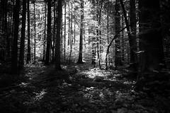 radiant forest (gato-gato-gato) Tags: europa leica leicammonochrom leicasummiluxm35mmf14 mmonochrom messsucher monochrom schweiz switzerland wald black digital forest gatogatogato gatogatogatoch nature rangefinder tobiasgaulkech white wood wwwgatogatogatoch sachseln obwalden ch manualfocus manuellerfokus manualmode schwarz weiss bw blanco negro monochrome blanc noir suisse svizzera sviss zwitserland isviçre berge mountains mountain gebirge fels stein stone rock