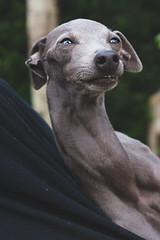 DSC_2105 (fábioparasmosánchez) Tags: dogs pets cute animals portraits eyes galgo italiano italian german shepherd adoption adopt