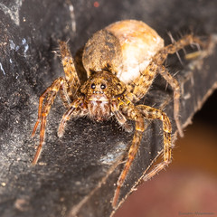 Wolf (Chewbacca!) Spider (simarknewman) Tags: insect chewbacca hairy spider macro 80d arachnid wolf