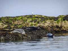 Grey seals, 2018 Jun 08 -- photo 2 (Dunnock_D) Tags: uk unitedkingdom wales puffinisland sea rocks seals grey seal menaistrait menaistraits conwybay