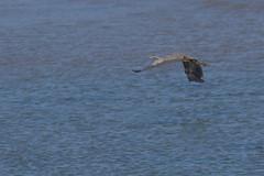 IMG_2484 (armadil) Tags: mavericks beach beaches bird birds flying californiabeaches heron greatblueheron blueheron
