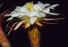 Deliverance (oybay©) Tags: night midnight suncitywest arizona unique unusual nightbloom cactusflower cactus flower flora fiori blumen argentinegiant macro upclose color colors white whiteflower light greatshot coolshot cool indoor black background