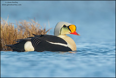 King Eider (Somateria spectabilis) (Glenn Bartley - www.glennbartley.com) Tags: animal animalia animals aves avian bird birdwatching birds glennbartley wildlife arctic alaska northamerica usa tundra nature kingeidersomateriaspectabilis